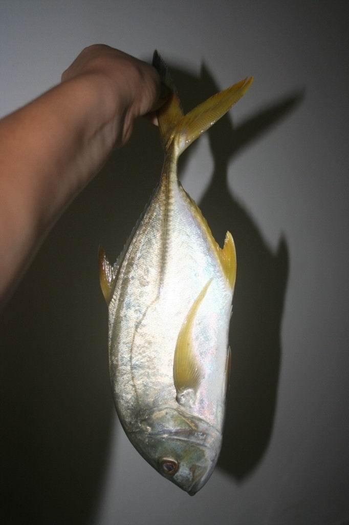 """А это масляная рыба. Ланкийцы ее называют """"butter fish""""."""