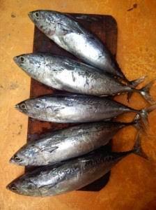 Так выглядят маленькие рыбешки тунца.