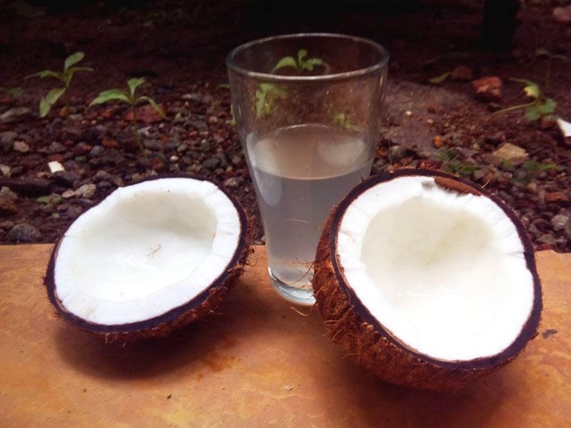 Так выглядит самый свежий кокос.