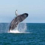 Шри-Ланка киты. Киты длиной до 33-х метров – самые крупные животные на Земле. Впечатления от увиденного.